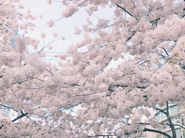 家附近的櫻花樹